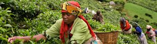 Women plucking tea, Rwanda. Credit: Tim Smith/Panos